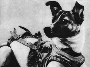 A black and white photo of Russian spacedog Laika in her space harness